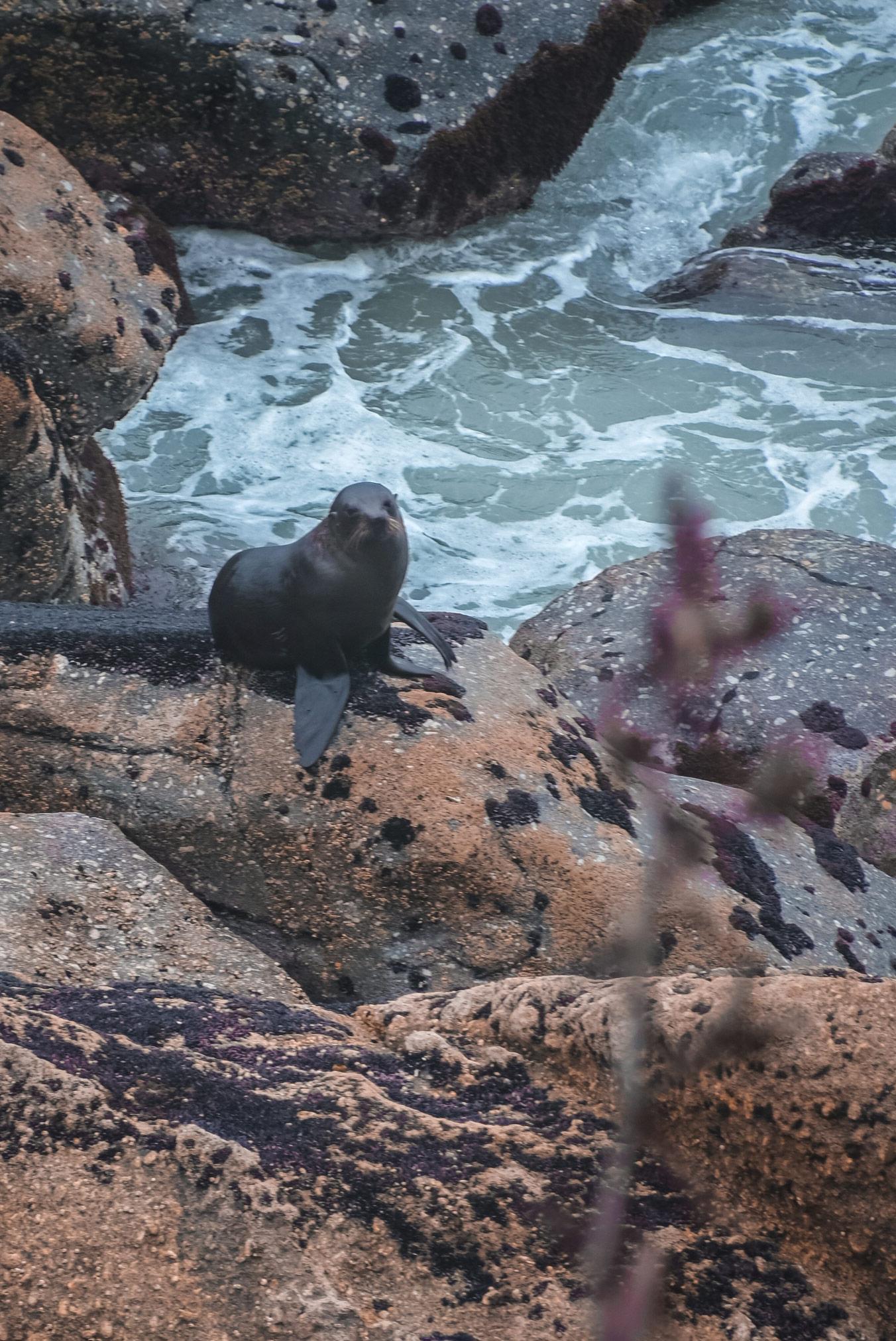 Nova Zelandija Cape Foulwind tjulni