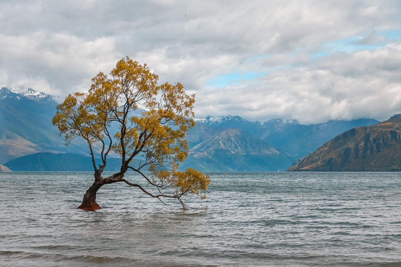 Wanaka drevo, Nova Zelandija