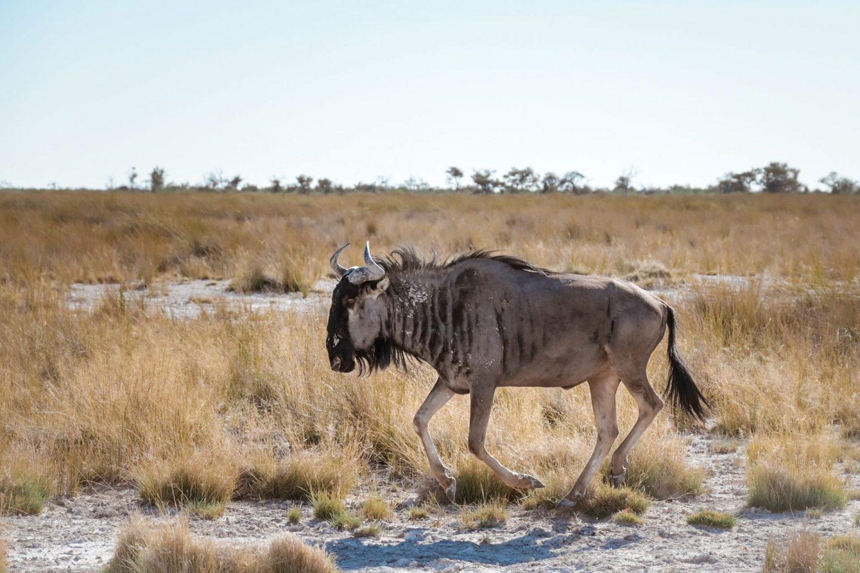 Gnu na safariju v nacionalnem parku Etosha v Namibiji