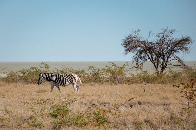 Zebra na safariju v nacionalnem parku Etosha v Namibiji