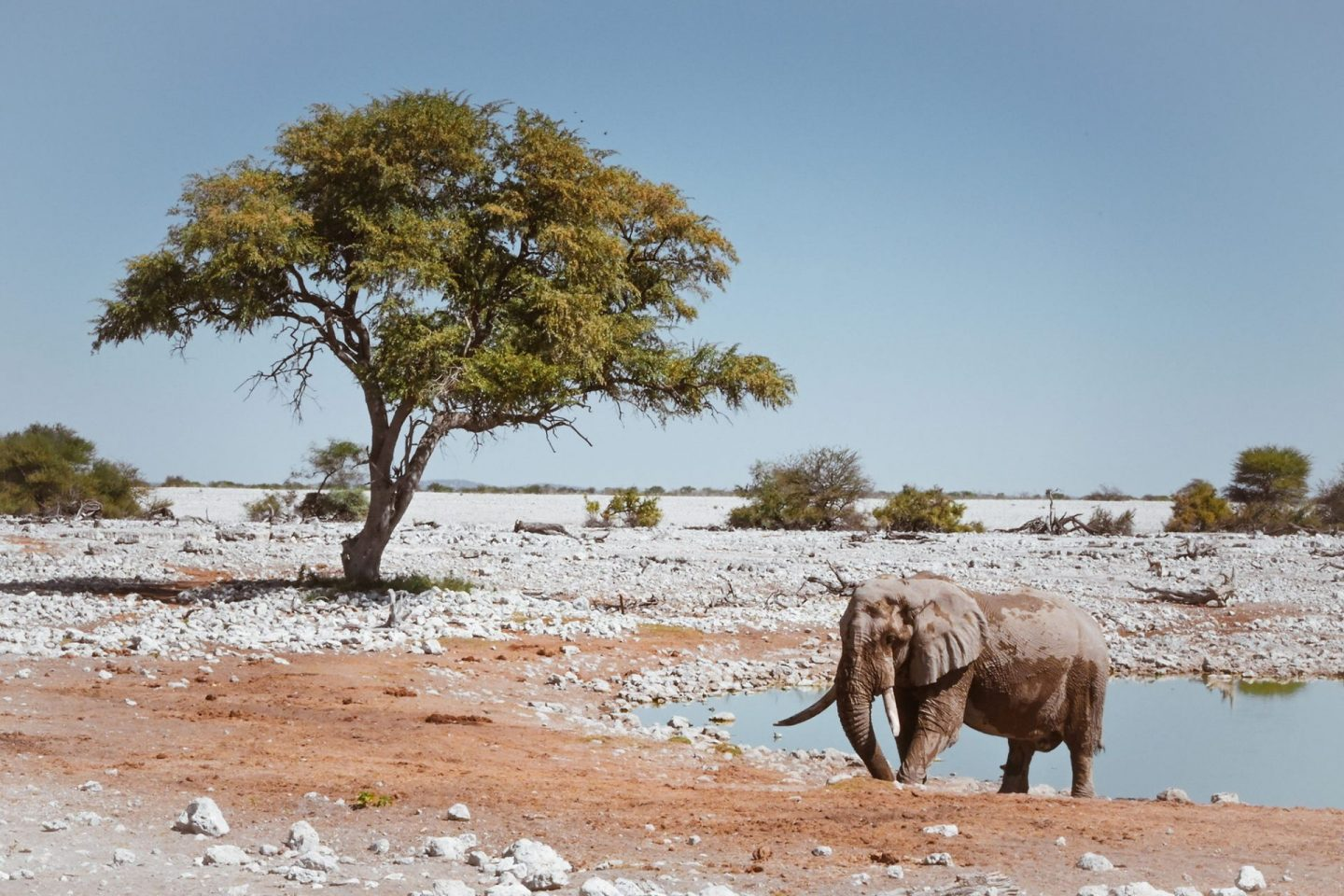 Elephant at Okaukuejo Waterhole in Etosha National Park, Namibia