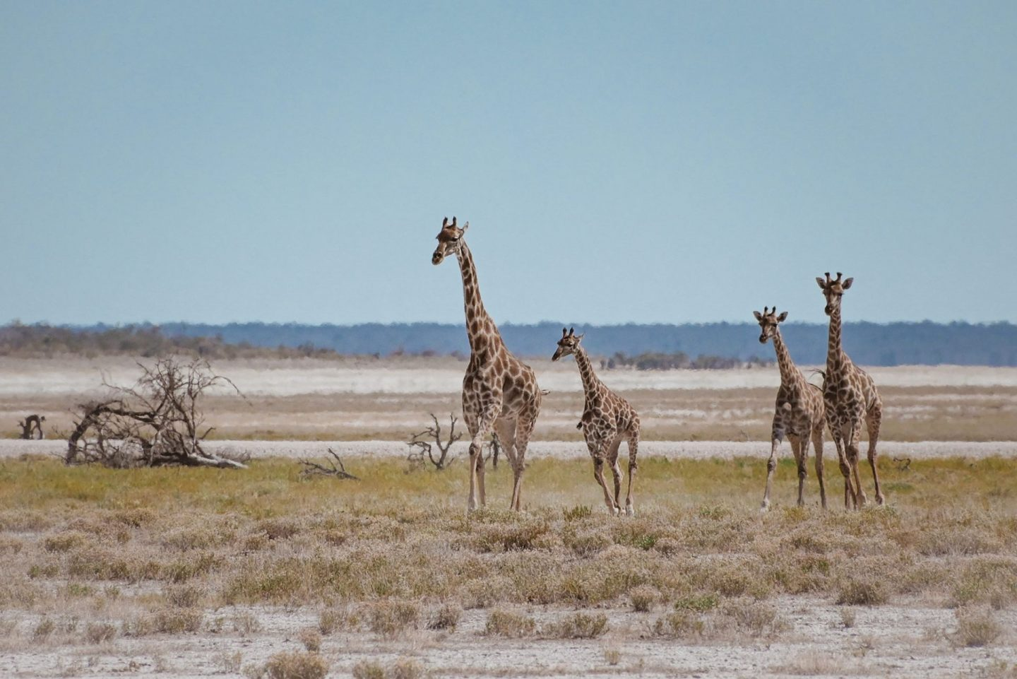 A group of giraffes on Namibia self drive safari in Etosha National Park