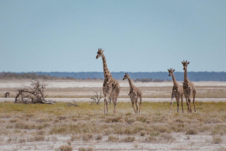 Žirafe na safariju v nacionalnem parku Etosha v Namibiji
