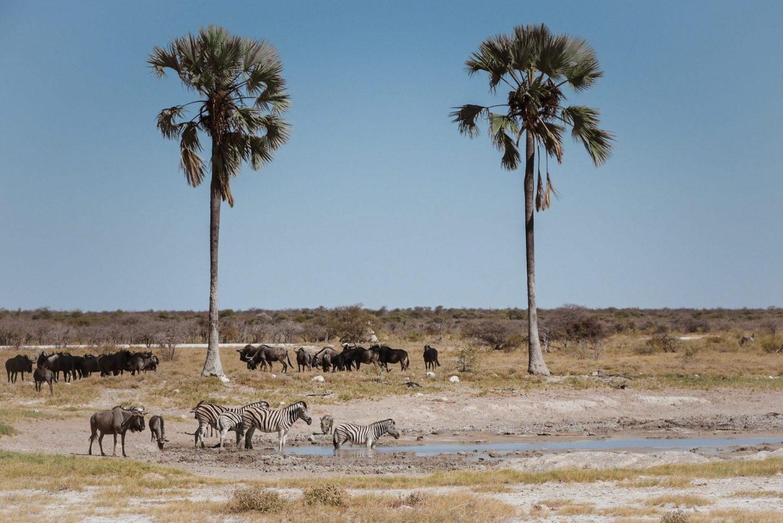 Safari v nacionalnem parku Etosha v Namibiji