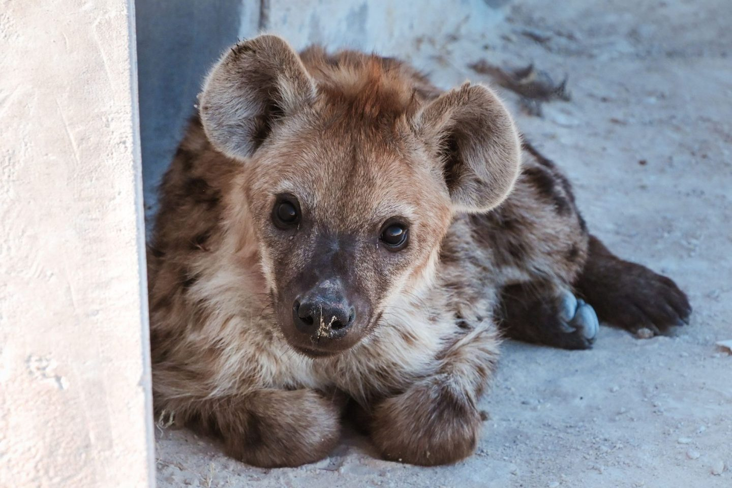 Baby hyena on Namibia self drive safari in Etosha National Park