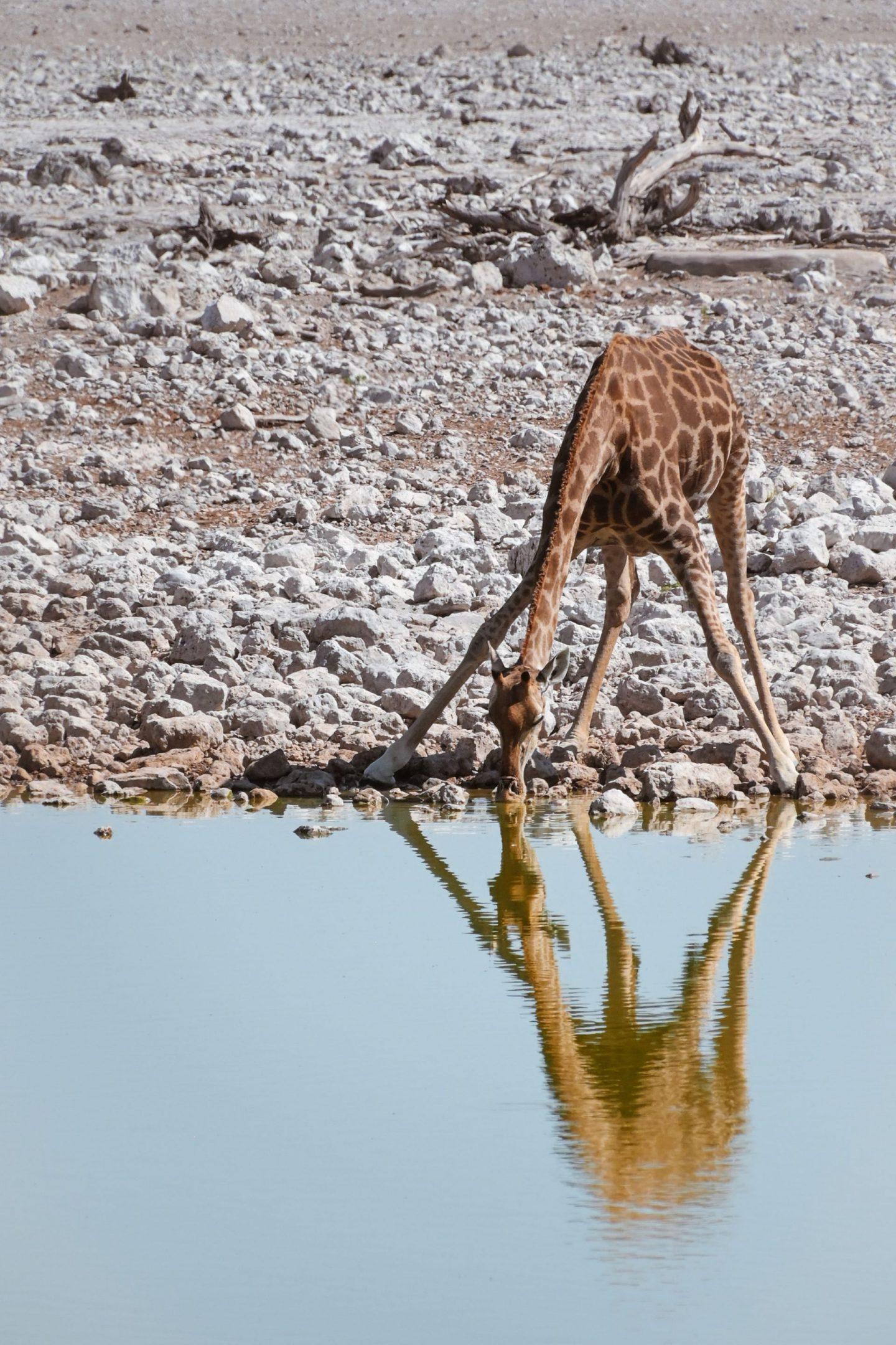 Žirafa pije na safariju v nacionalnem parku Etosha v Namibiji