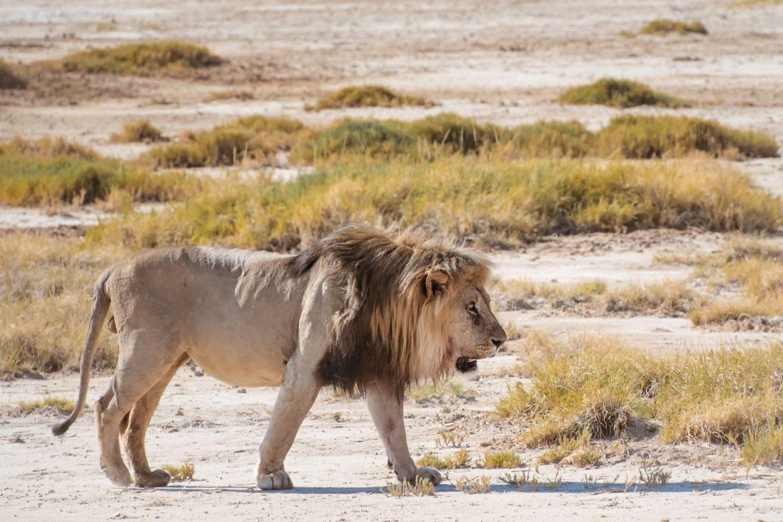 Lev na safariju v nacionalnem parku Etosha v Namibiji