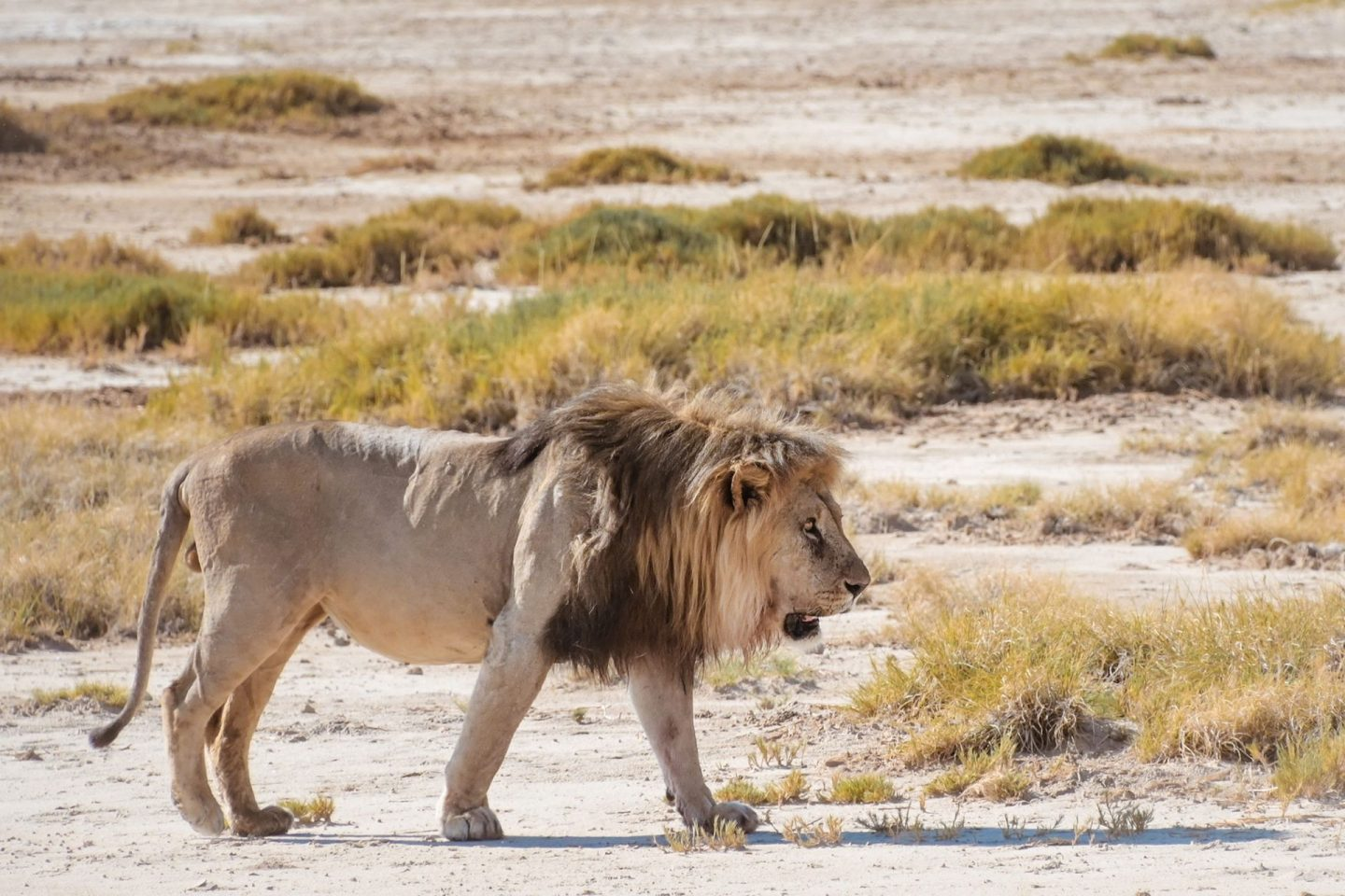 Lion at Okondeka Waterhole on Namibia self drive safari in Etosha National Park
