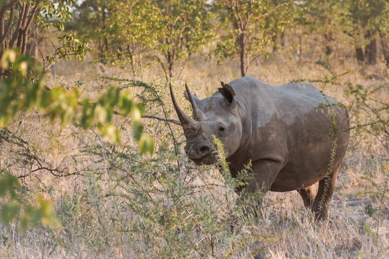 Nosorog na safariju v nacionalnem parku Etosha v Namibiji