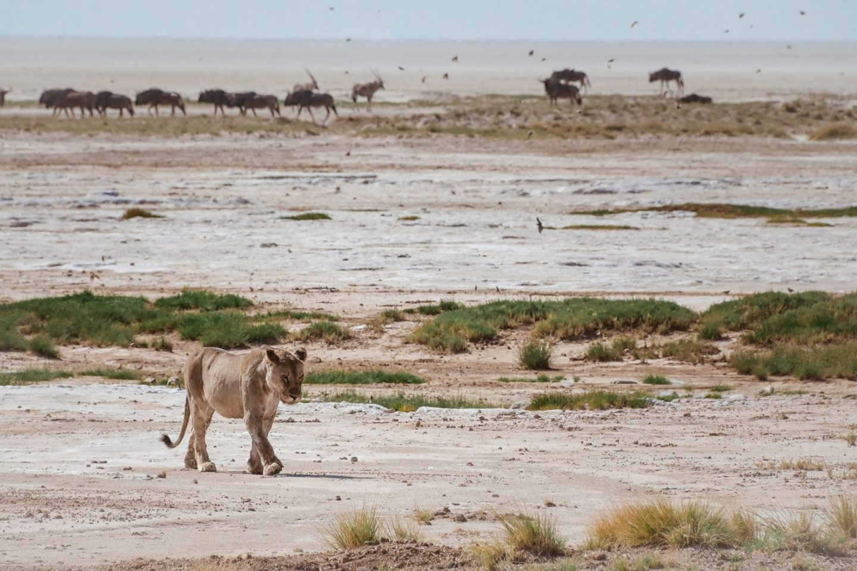 Levinja na safariju v nacionalnem parku Etosha v Namibiji