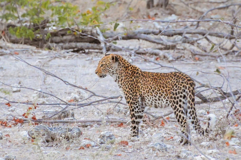 Leopard na safariju v nacionalnem parku Etosha v Namibiji