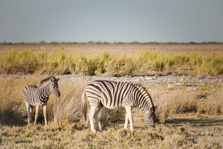 Zebre na safariju v nacionalnem parku Etosha v Namibiji