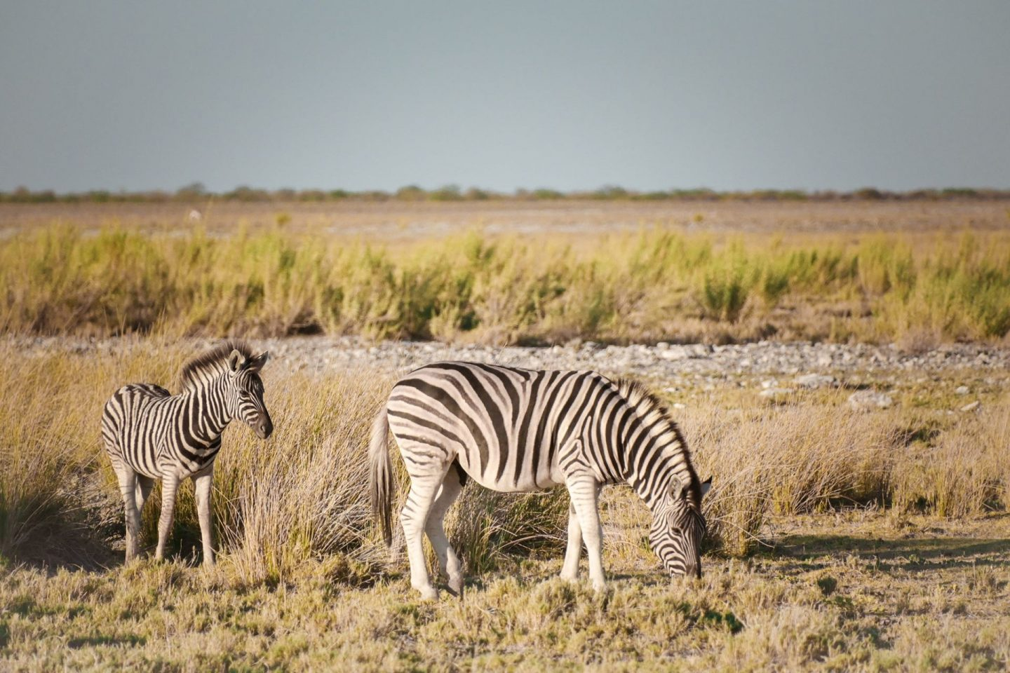 Zebras on Namibia self drive safari in Etosha National Park