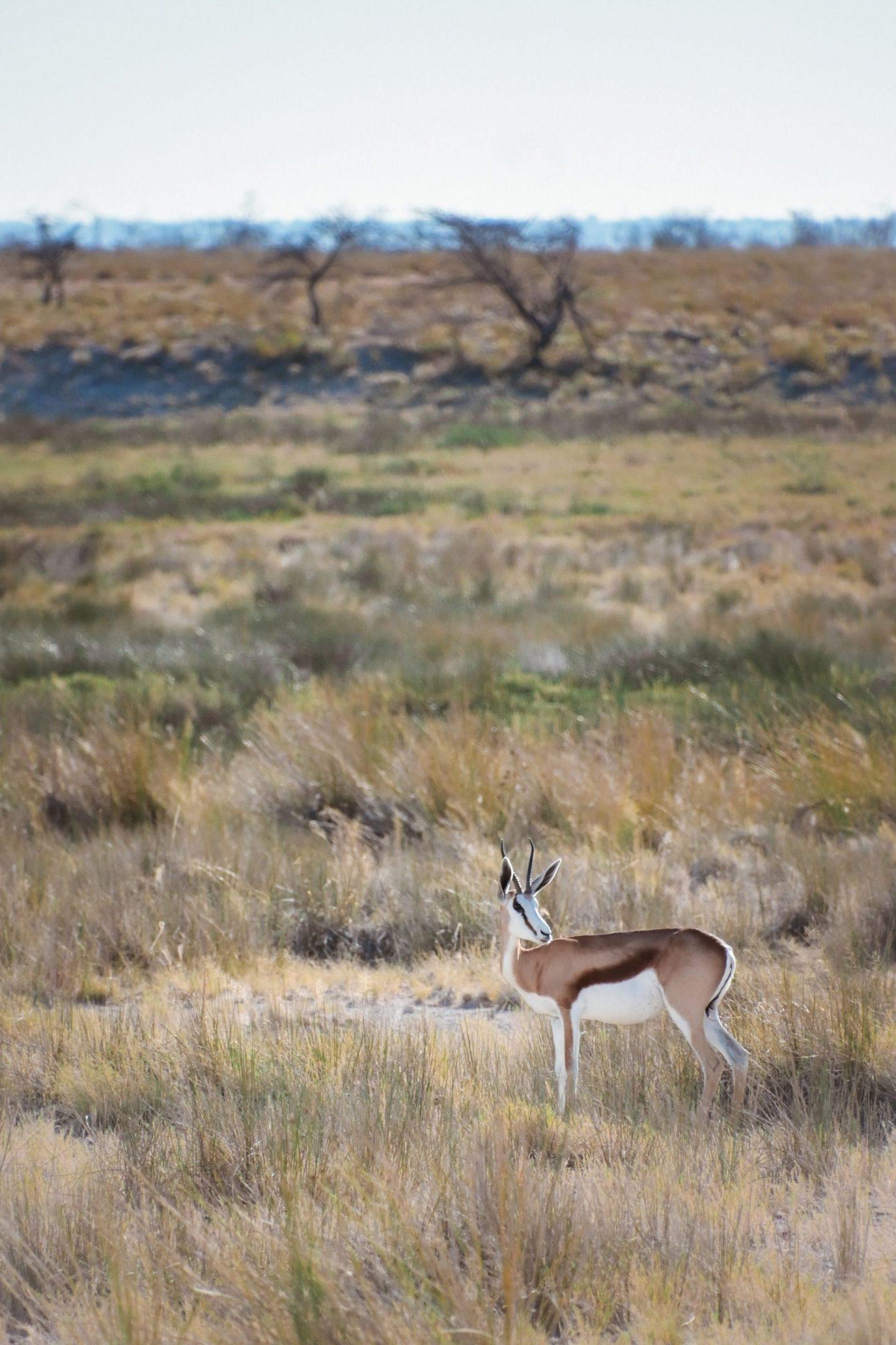 Antilopa na safariju v nacionalnem parku Etosha v Namibiji