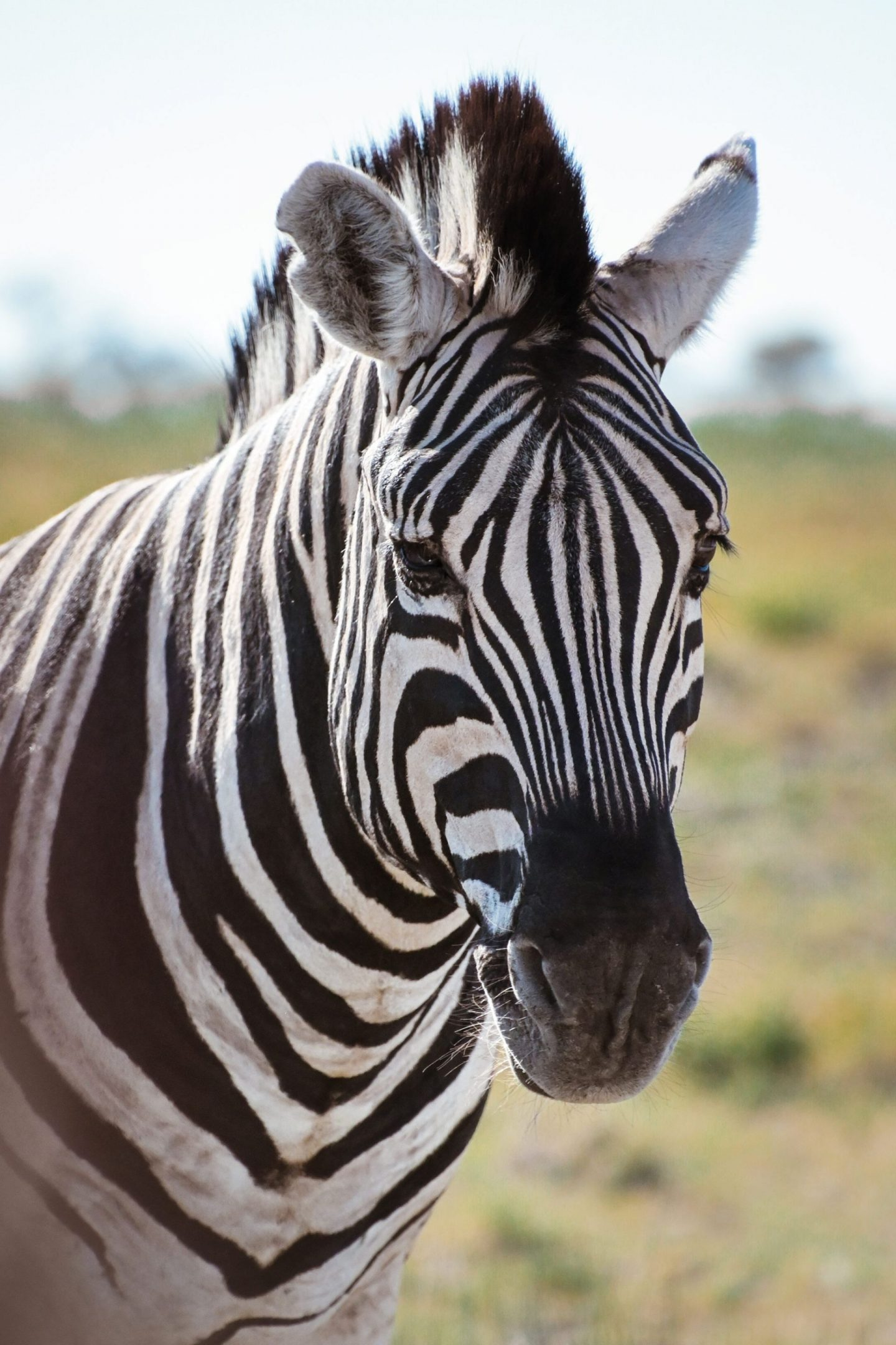 Zebra portrait from Etosha National Park, Namibia