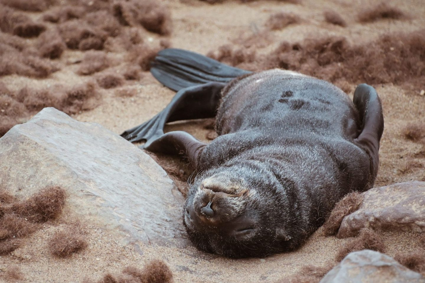 Baby seal at Cape Cross, Namibia