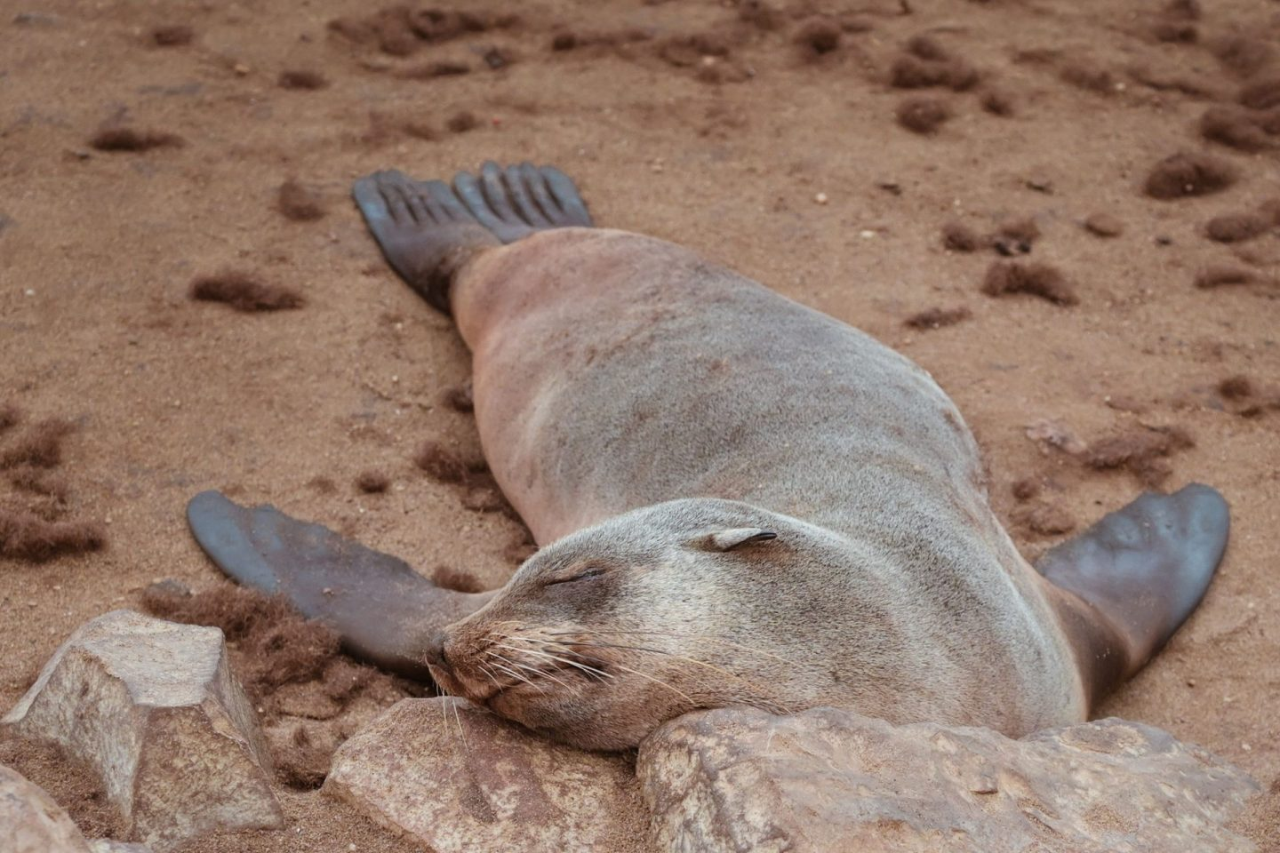 Seal sleeping at Cape Cross, Namibia