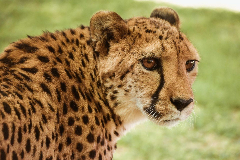 Gepard, Namibija