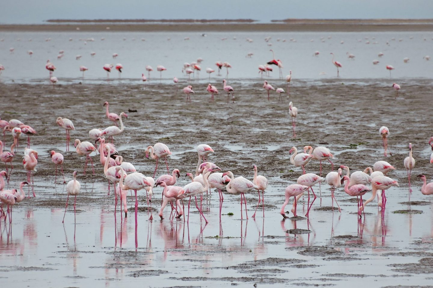 Walvis Bay flamingoes in Namibia