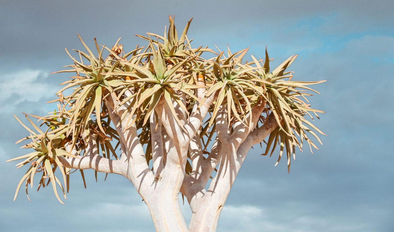 Namibija quiver drevo