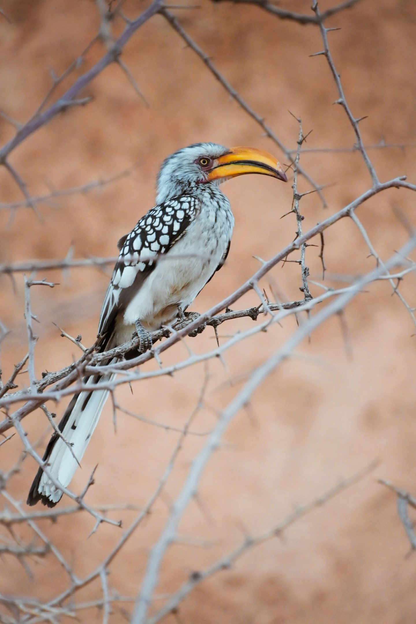 Bradfield's Hornbill in Namibia