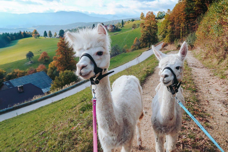 Alpacas Hill, Koroska, Slovenia