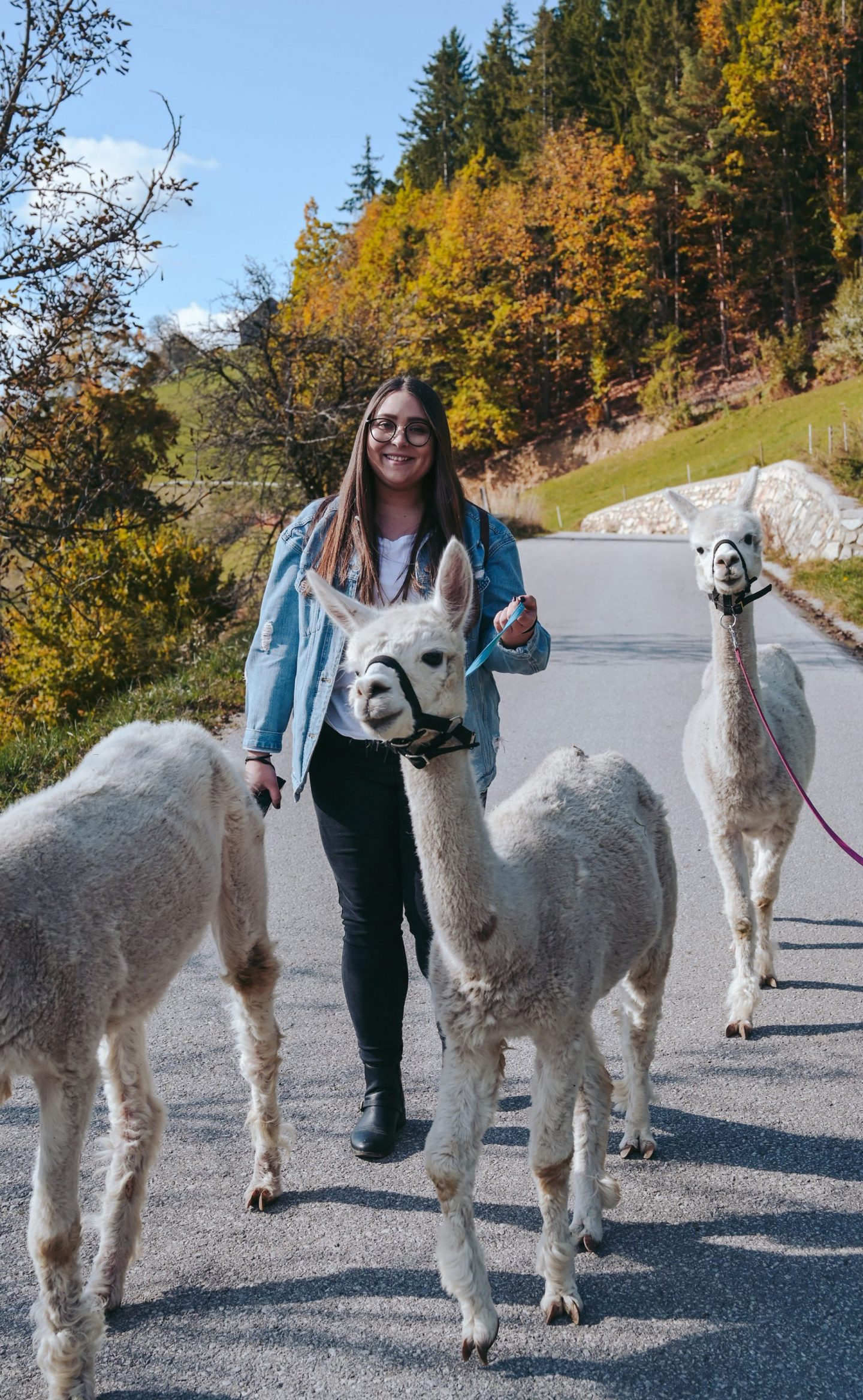Walking with Alpacas, Koroska, Slovenia
