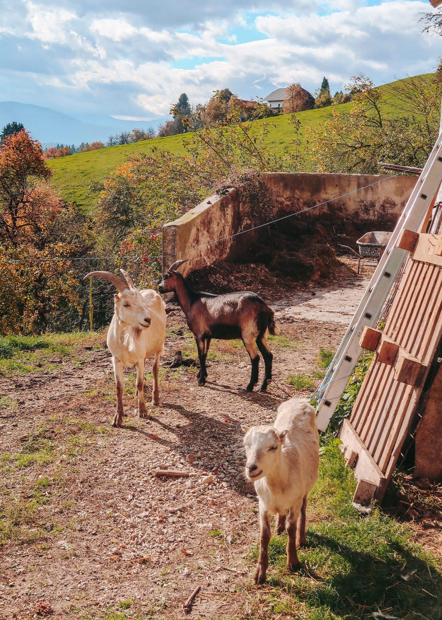 Goats, Strojna, Slovenia