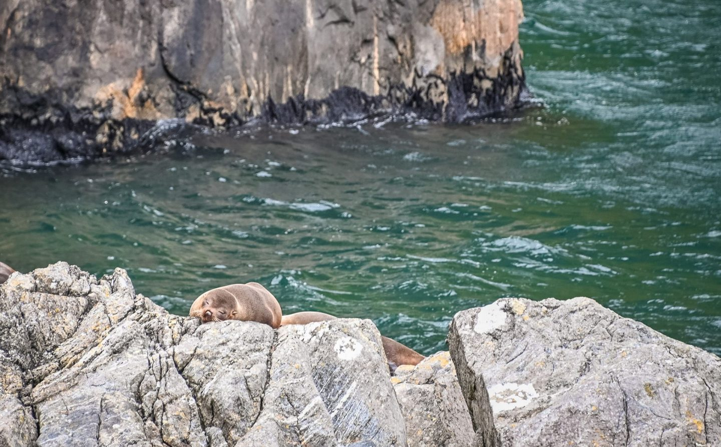 Seals at Milford Sounds, New Zealand