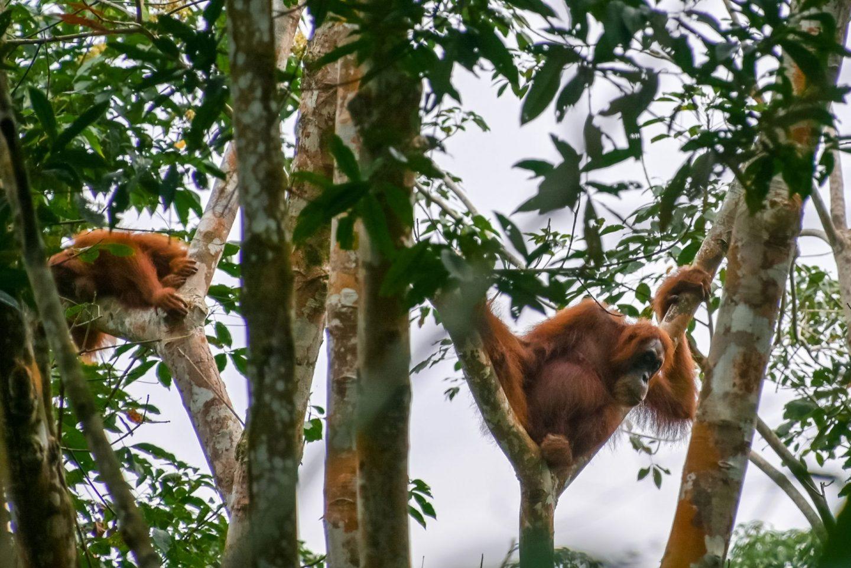 bukit lawang jungle trekking orangutan tour