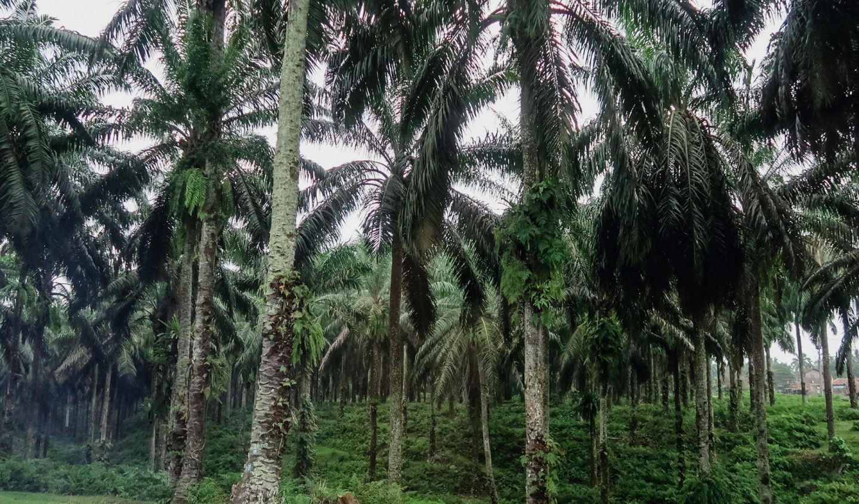 sumatra palm plantation