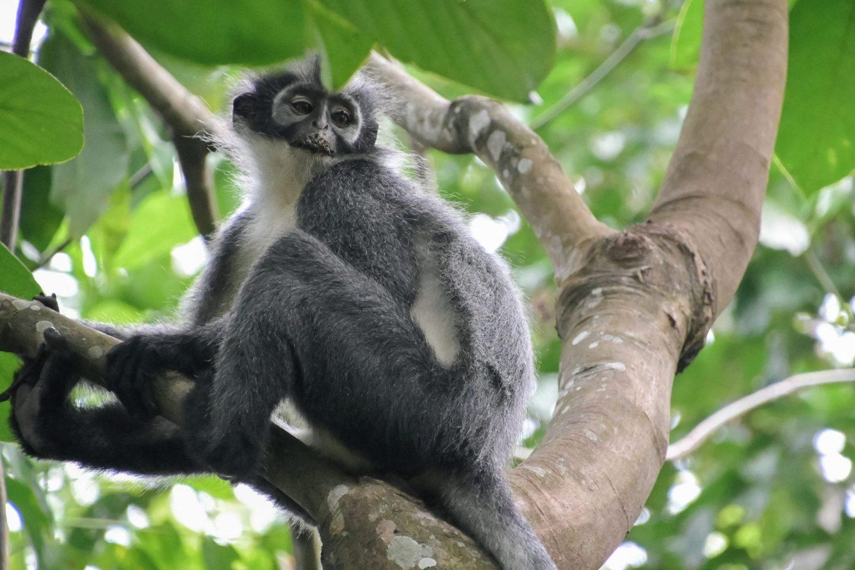 bukit lawang thomas leaf monkey